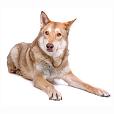 Race chien Chien-loup de saarloos
