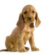 Race chien Cocker anglais