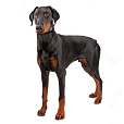 Race chien Dobermann