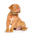 Race chien Dogue de bordeaux
