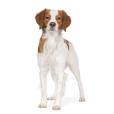 Race chien Epagneul breton