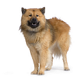 Race chien Eurasier