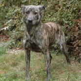 Race chien Fila de saint miguel