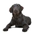 Race chien Retriever à poil plat