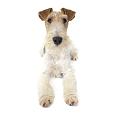 Race chien Fox terrier à poil dur