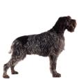Race chien Griffon d'arret à poil dur korthals