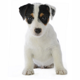 Race chien Jack russell terrier