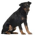 Race chien Jagdterrier allemand
