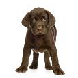 Labrador Retriever, Toutes les informations sur la race