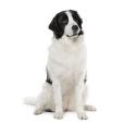 Race chien Landseer (type continental européen)