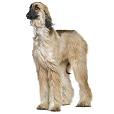 Race chien Lévrier afghan