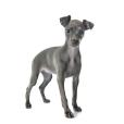 Race chien Petit lévrier italien