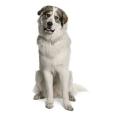 Race chien Chien de montagne des pyrénées