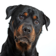 Race chien Rottweiler