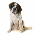 Race chien Saint-bernard poil long