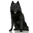 Race chien Schipperke