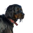 Race chien Setter gordon