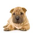 Race chien Shar peï