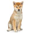 Race chien Shiba