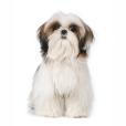 Race chien Shih tzu