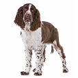 Race chien English springer spaniel