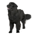 Race chien Chien de terre-neuve