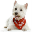Race chien West highland white terrier