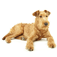 Race chien Terrier irlandais