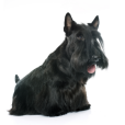 Race chien Scottish terrier