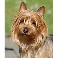 Race chien Terrier australien