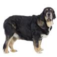 Race chien Matin espagnol