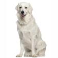 Race chien Kuvasz
