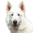 Race chien Berger blanc suisse