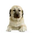 Race chien Chien de berger d'anatolie