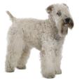 Race chien Terrier irlandais à poils doux