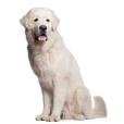 Race chien Chien de berger des tatras