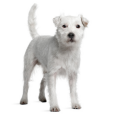 Race chien Parson russell terrier