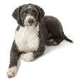 Race chien Chien d'eau espagnol