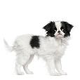 Race chien Epagneul japonais