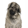Race chien Chien de berger yougoslave de charplanina