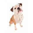 Race chien Olde english bulldogge