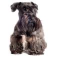Race chien Terrier tcheque
