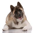 Race chien Akita americain