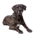 Race chien Fila brasileiro