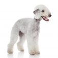 Race chien Bedlington terrier