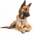 Race chien Berger belge malinois