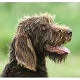 Race chien Barbu tchèque