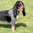 Race chien Basset bleu de gascogne