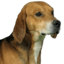 Race chien Beagle-harrier
