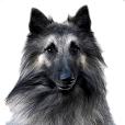 Race chien Berger belge tervueren